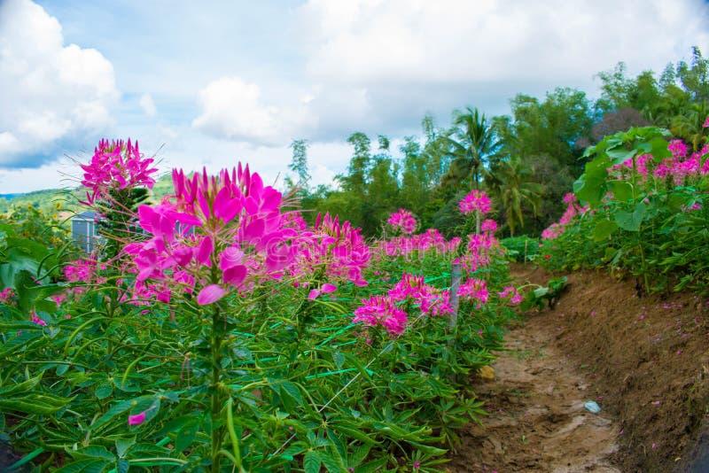Ogród kwitnienie Pełno Kwitnie Z Różowymi płatkami zdjęcia stock