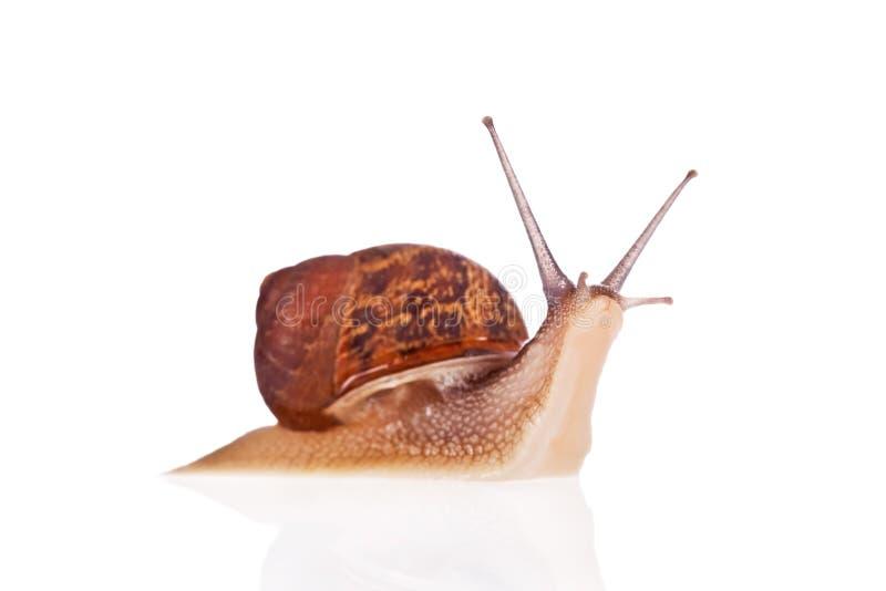 ogród odizolowywający przyglądający ślimaczek w górę biel zdjęcie royalty free