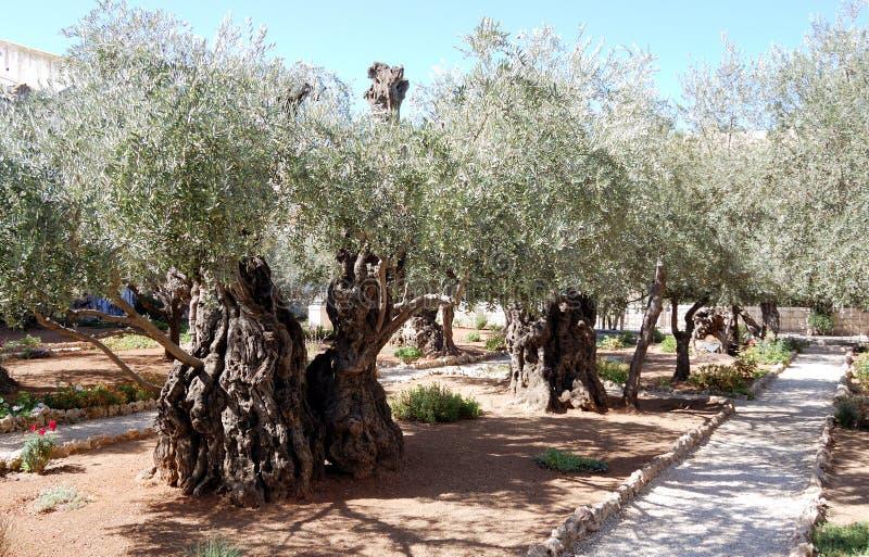 Ogród oliwkowy Gethsemane fotografia stock
