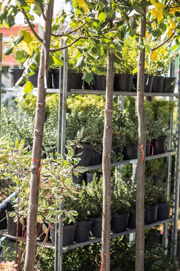 Ogród, ornamentacyjne trawy i rośliny w, uprawiamy ogródek rynek na pionowo półkach w garnkach fotografia stock