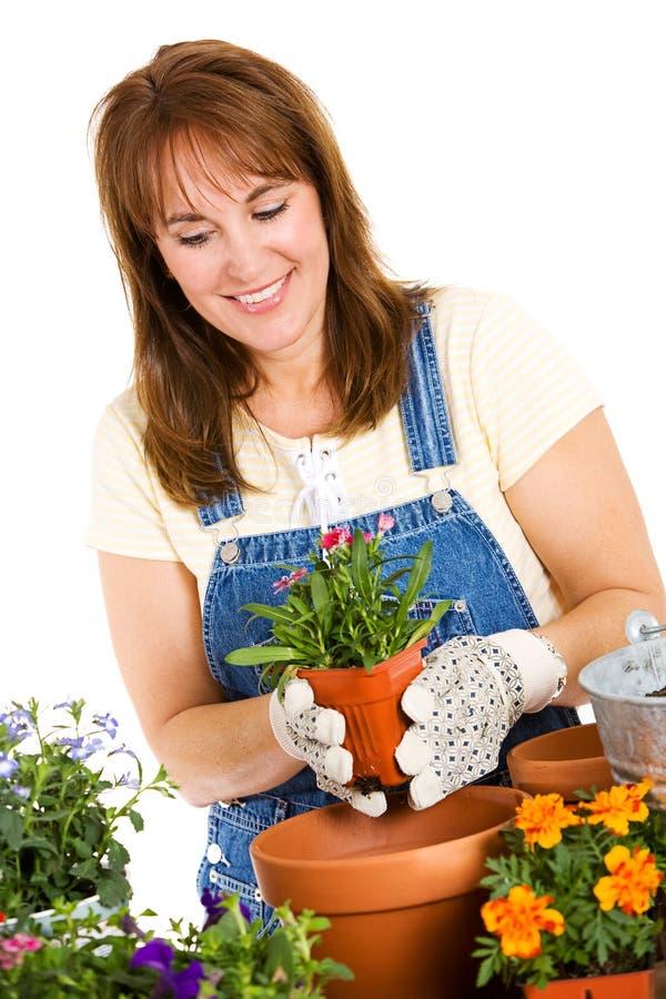 Ogród: Przygotowywający Puszkować Dianthus rozsady obraz royalty free