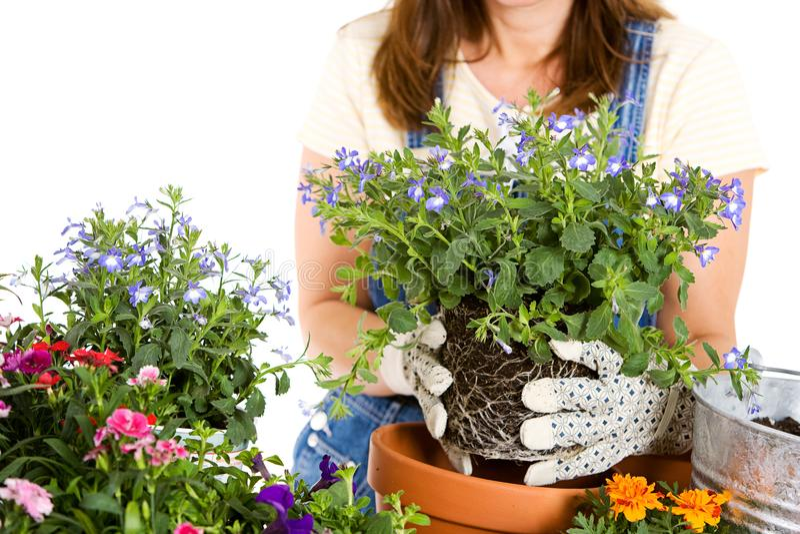 Ogród: Puszkować roczników kwiaty zdjęcie royalty free