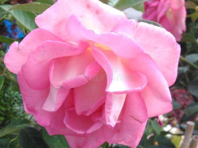 Ogród róża, menchia, kwiatostan fotografia stock