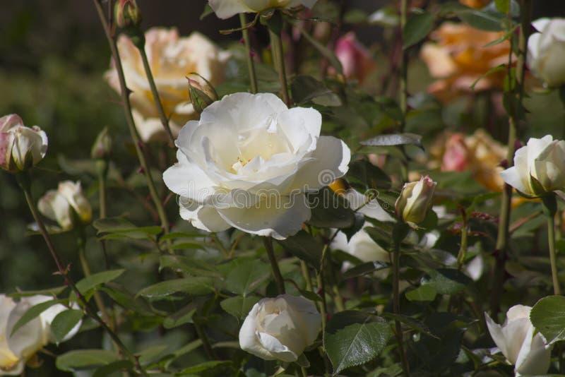 Ogród różany różni kolory fotografia royalty free