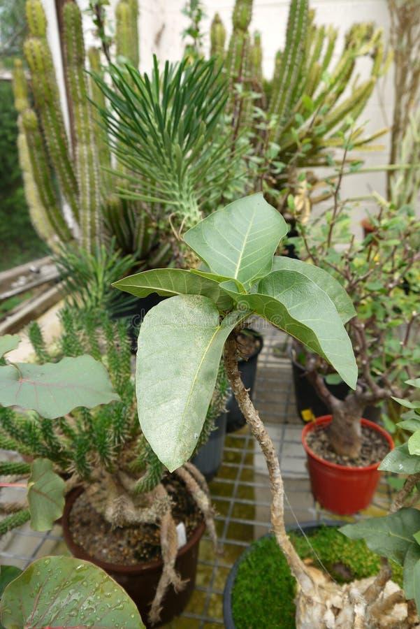 Ogród: rzadkie sukulent rośliny w szklarni obrazy stock