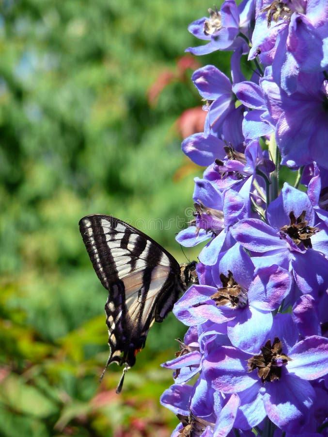 ogród swallowtail motyla zdjęcia royalty free