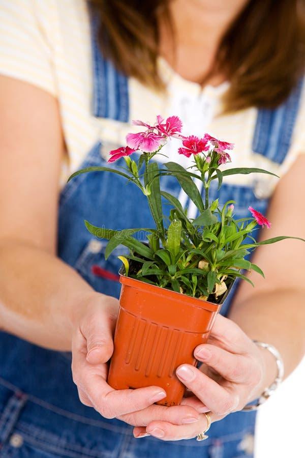 Ogród: Trzymać garnek Dianthus obrazy royalty free