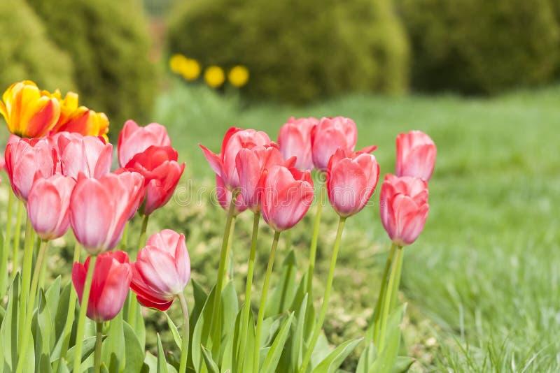 Ogród w ranku świetle, tulipan kwitnie obraz stock