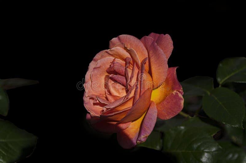 Ogród wzrastał przeciw ciemnemu tłu obrazy stock