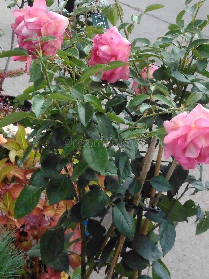 Ogród wzrastał w garnku, menchia, kwiatostan obrazy royalty free