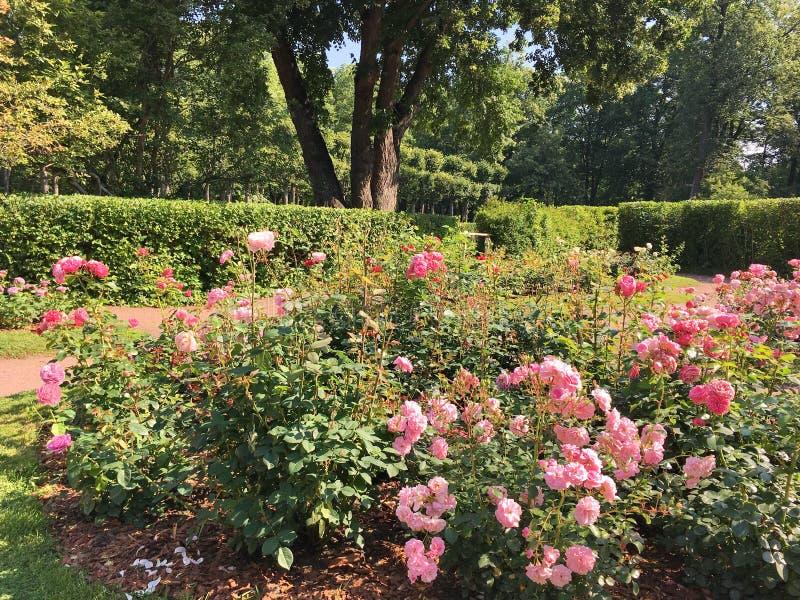 Ogród z wiele różami zdjęcie royalty free