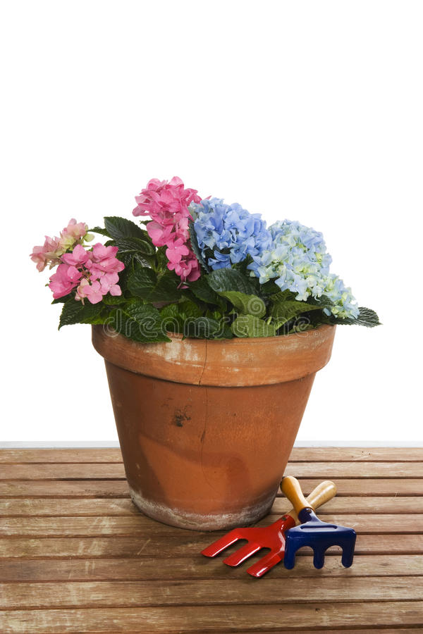 ogrodnictwo hortensja obraz royalty free
