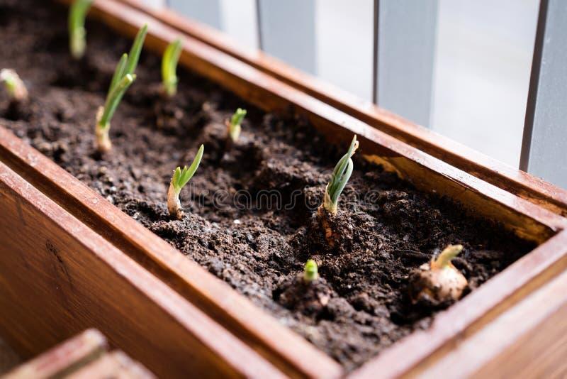 Ogrodnictwo i horticulture narastaj?ce zielone cebule w pude?ku na tarasie w mie?cie obraz stock