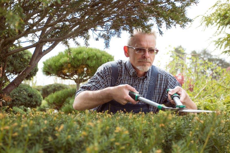 Ogrodniczka ciie krzaka dekoracyjnych strzyżenia zdjęcia stock