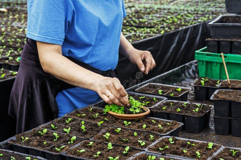 Ogrodniczka pracuje z rozsadami dekoracyjne rośliny i ziemia w rolniczej hodowlanej szklarni, zamyka up żeńskie ręki obrazy royalty free