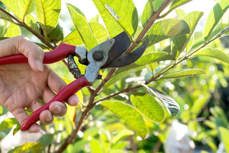 Ogrodniczka przycina drzewa z przycinać strzyżenia na natury tle obraz royalty free