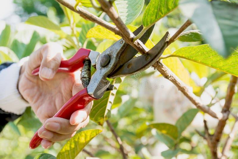 Ogrodniczka przycina drzewa z przycinać strzyżenia na natury tle zdjęcie stock
