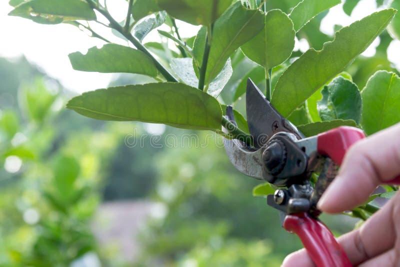 Ogrodniczka przycina drzewa z przycinać strzyżenia na natury tle fotografia stock