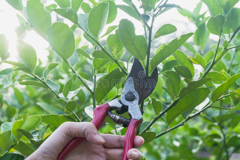 Ogrodniczka przycina drzewa z przycinać strzyżenia na natury tle obrazy royalty free