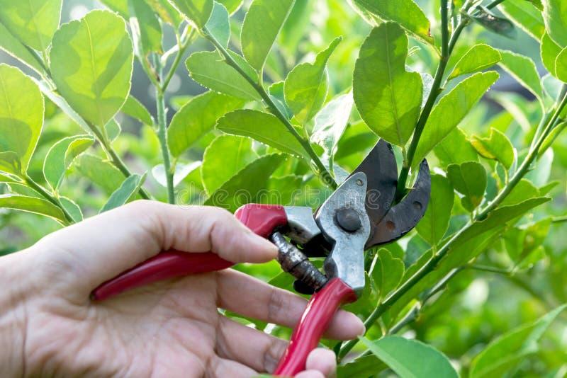 Ogrodniczka przycina drzewa z przycinać strzyżenia na natury tle obrazy stock