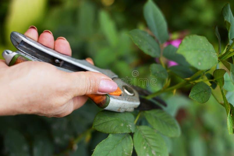 Ogrodniczka przycina drzewa z przycina? strzy?enia na natury tle fotografia royalty free