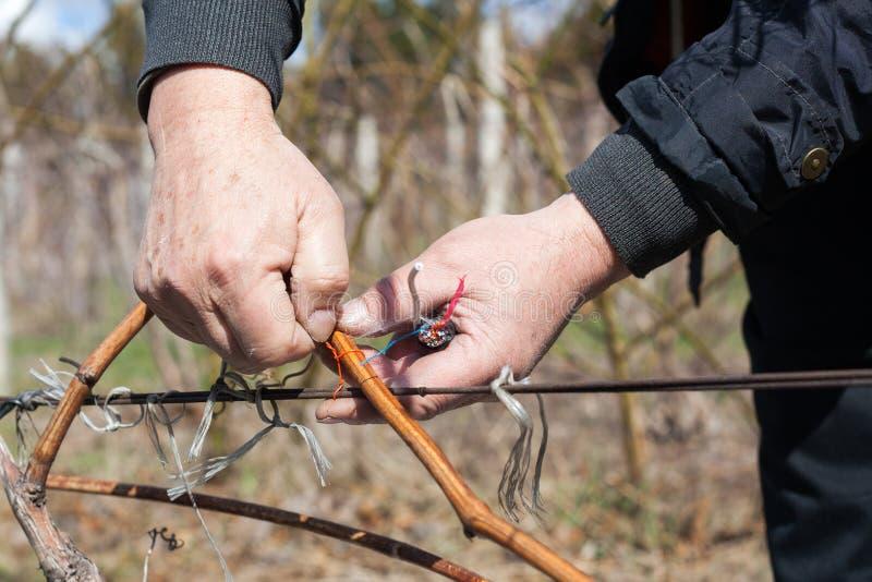 Ogrodniczka przycina z ostrym pruner robi winogrona - ciący rozgałęzia się przy wiosną obraz stock