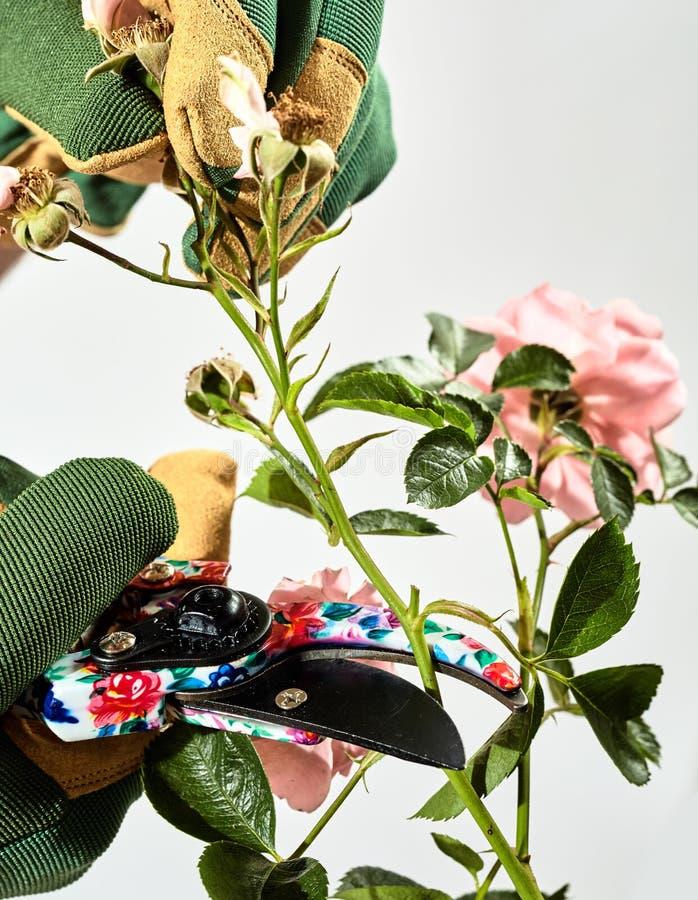 Ogrodniczka przycina z powrotem róża krzaka w lecie obrazy stock