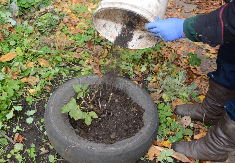 Ogrodniczka robi schronieniu dla róży zimy ochrony z brudem i samochodową oponą Izoluje róże dla zimy obraz royalty free