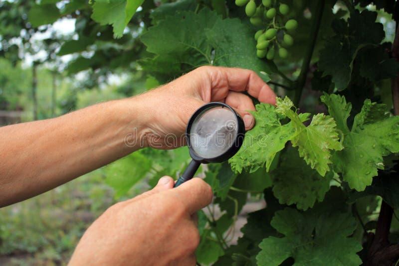 Ogrodniczka sprawdza gronowych liście z powiększać - szkło w rewizi o obraz stock