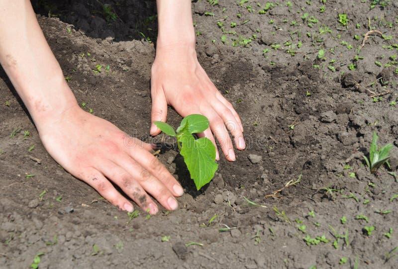 Ogrodniczka Wręcza flancowanie ogórek obraz stock
