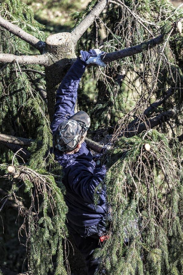 Ogrodniczka wspina się jedlinowego drzewa przycinać fotografia royalty free