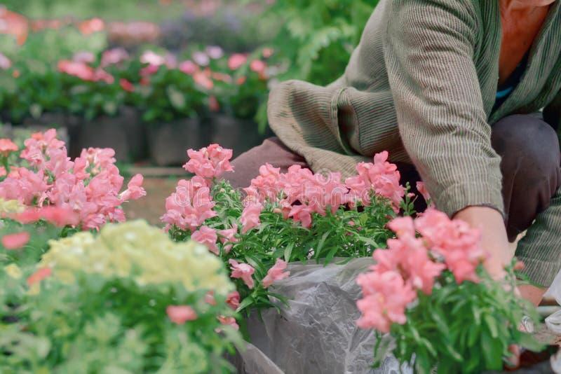Ogrodniczka wybierał pięknych kwiaty w plastikowym czerni dla rośliny w ogródzie z zielonym rozmytym tłem zdjęcie stock
