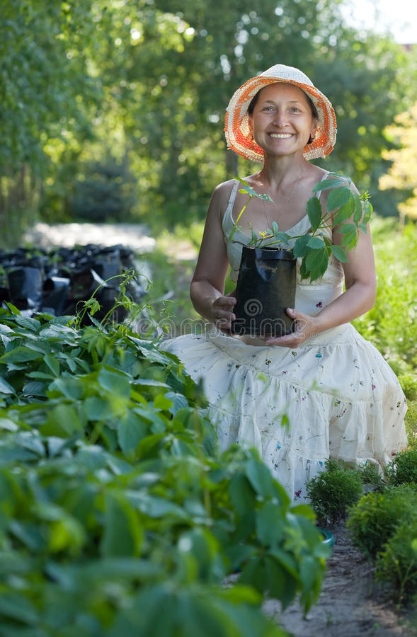 Ogrodniczka z Parthenocissus tricuspidata flancami zdjęcie royalty free