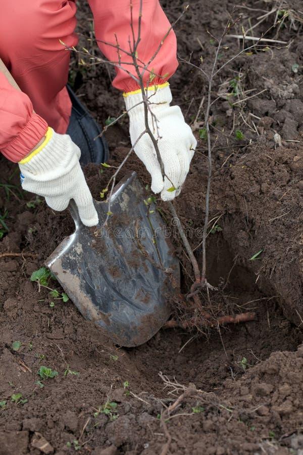 Ogrodniczka zasadza drzewa w wiośnie obraz stock