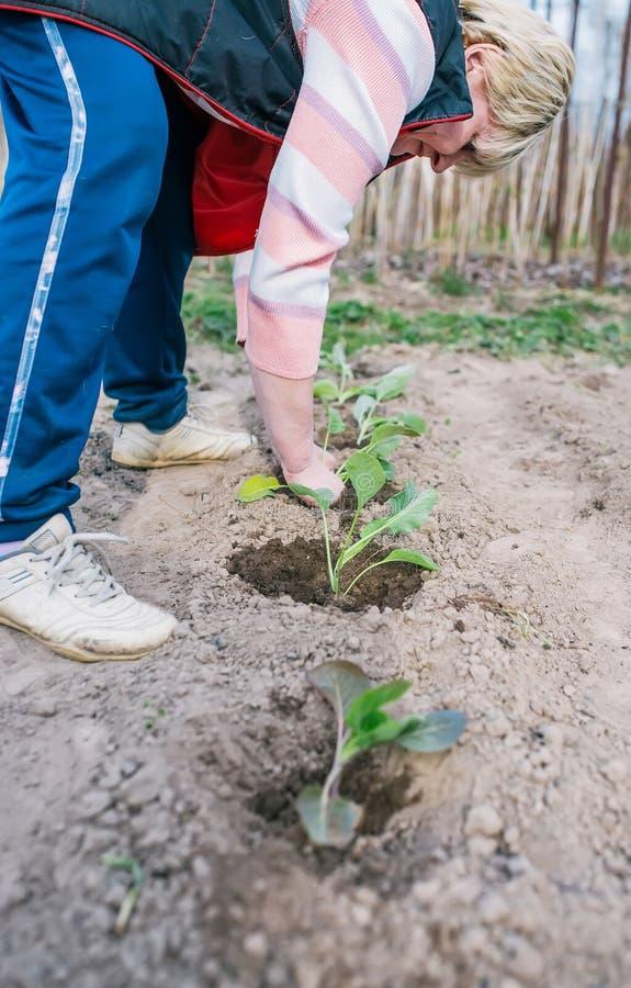 Ogrodniczka zasadza kapuścianej rozsady w jarzynowym ogródzie Pionowo sk?ad obraz stock