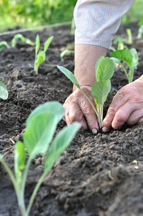 Ogrodniczki ` s wręcza zasadzać kapuścianej rozsady w jarzynowym ogródzie zdjęcie royalty free