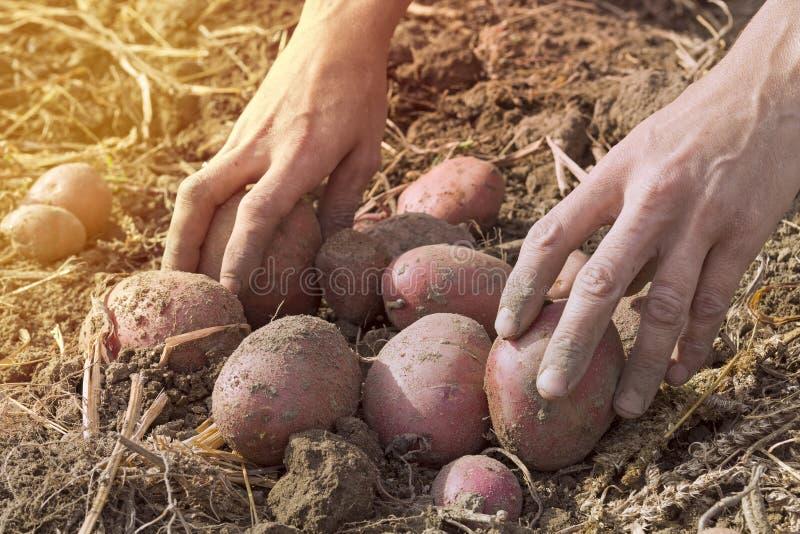 Ogrodniczki ` s wręcza podnosić świeże organicznie grule zdjęcie stock