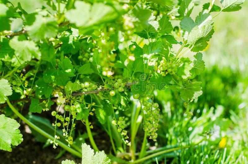 Ogrodowa czerwonego rodzynku roślina fotografia royalty free