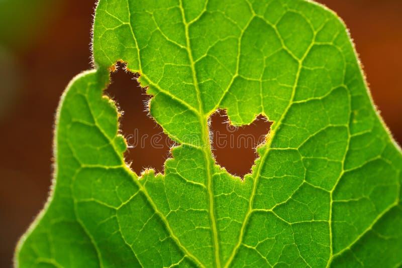 Ogrodowa dżuma w sadu łasowania sałacie obraz royalty free