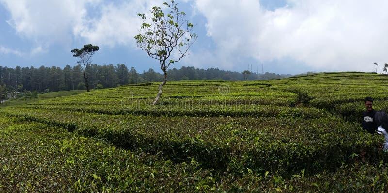 Ogrodowa herbata zdjęcia stock