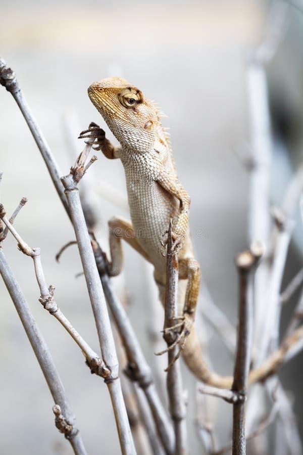 Ogrodowa jaszczurka obrazy stock