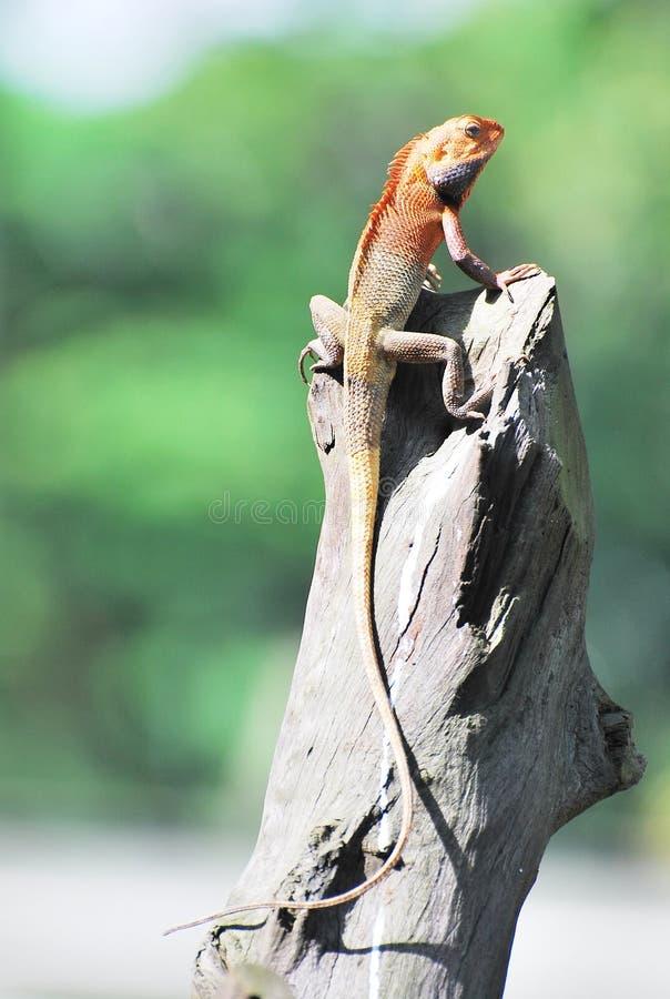 ogrodowa jaszczurka Oriental zdjęcie royalty free