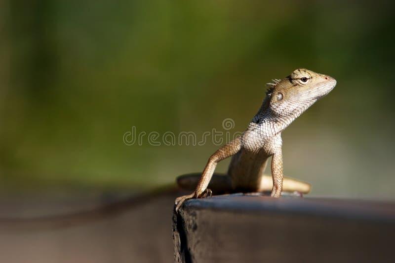 ogrodowa jaszczurka Oriental obrazy royalty free