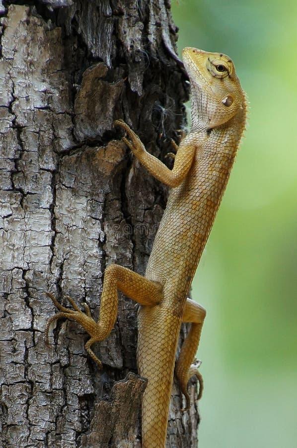 Ogrodowa Płotowa jaszczurka obraz royalty free