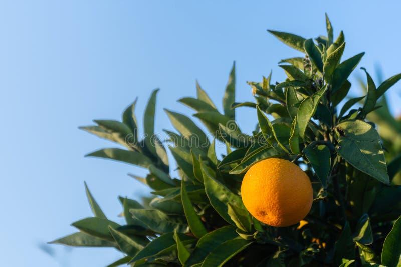 ogrodowa pomarańcze szczegół pomarańcze na drzewie Hiszpańska i naturalna owoc zdjęcia stock