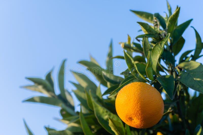 ogrodowa pomarańcze szczegół pomarańcze na drzewie Hiszpańska i naturalna owoc Naturalny tło zdjęcie stock
