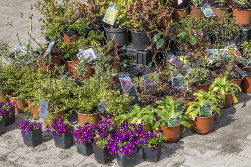 Ogrodowe kwiat rozsady w plastikowych garnkach obraz royalty free