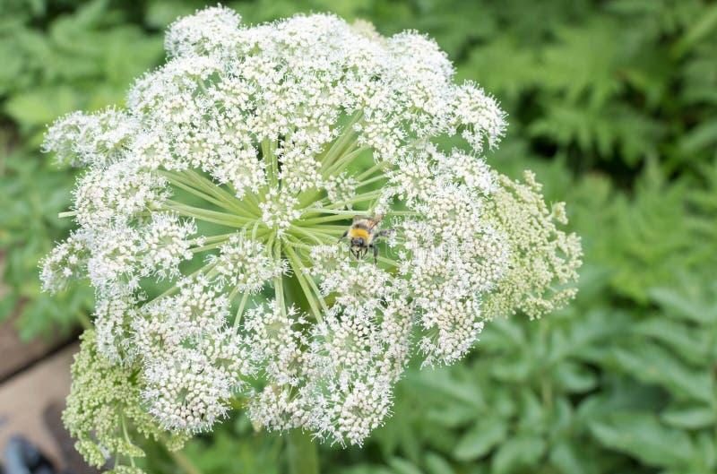 Ogrodowego arcydzięglu kwiat obrazy royalty free
