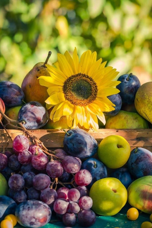 Ogrodowego późnego lata owoc kosza światła położenia sezonowy słońce obrazy royalty free