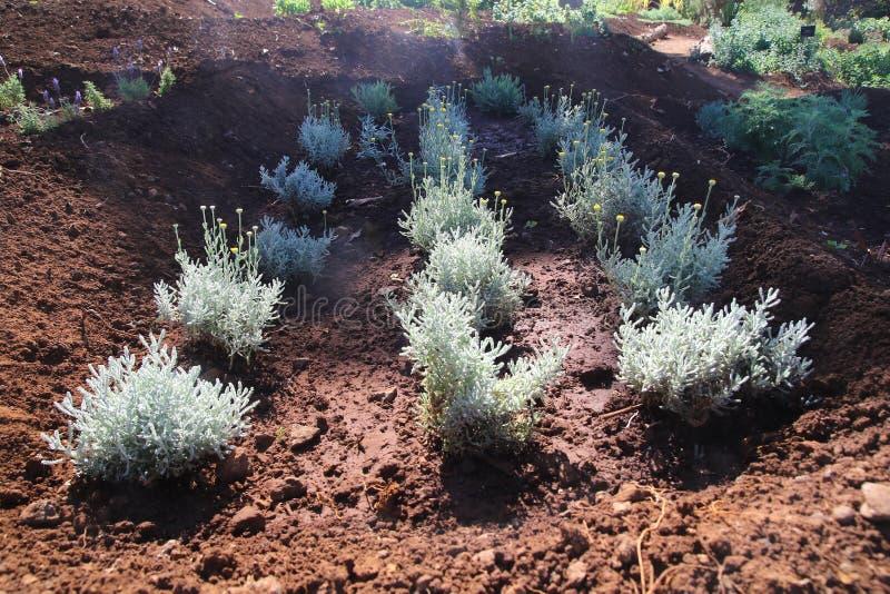 Ogrodowi łóżka Lawendowej bawełny Santolina chamaecyparissus zdjęcie stock